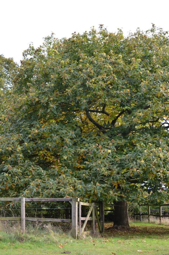 Esskastanienbaum
