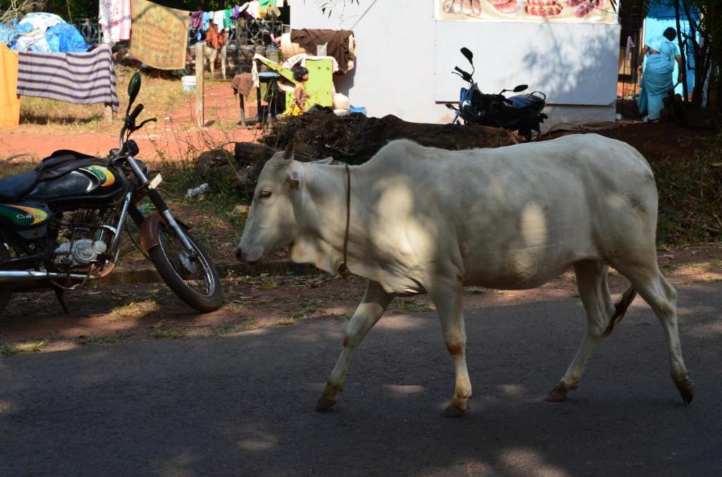 Frei laufende Kuh auf der Straße