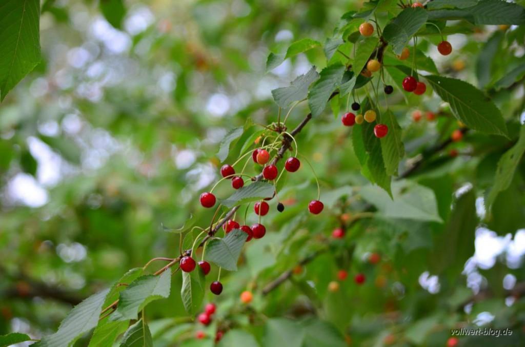 Rote Vogelkirschen