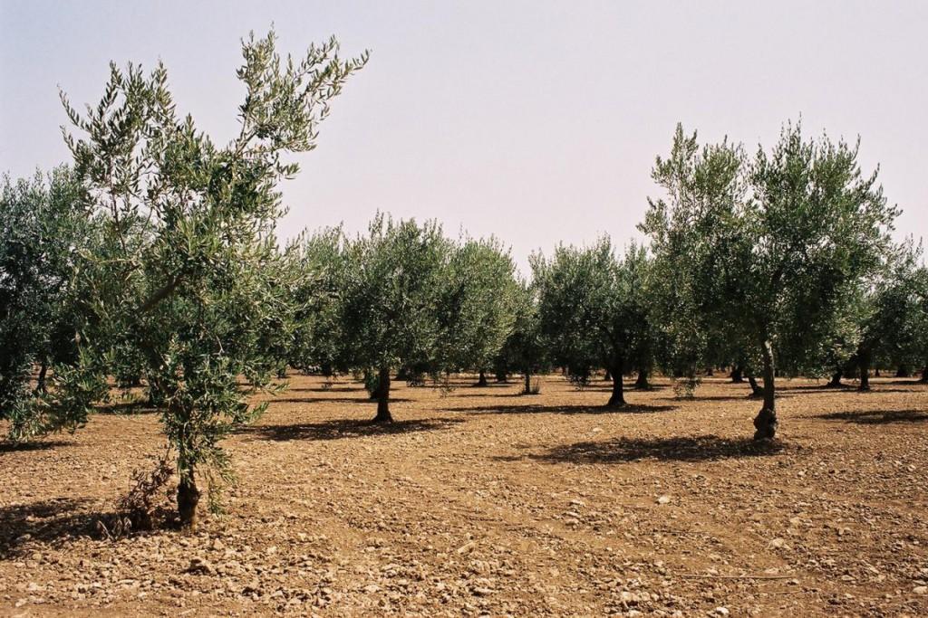 Olivenölhain in Sizilien © Bjs Wikipedia