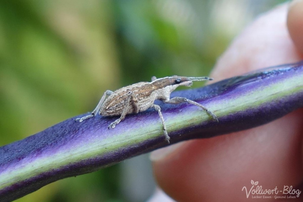 Käfer auf der Stangenbohne