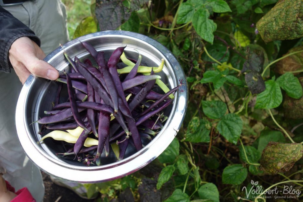 Stangenbohnen Ernte