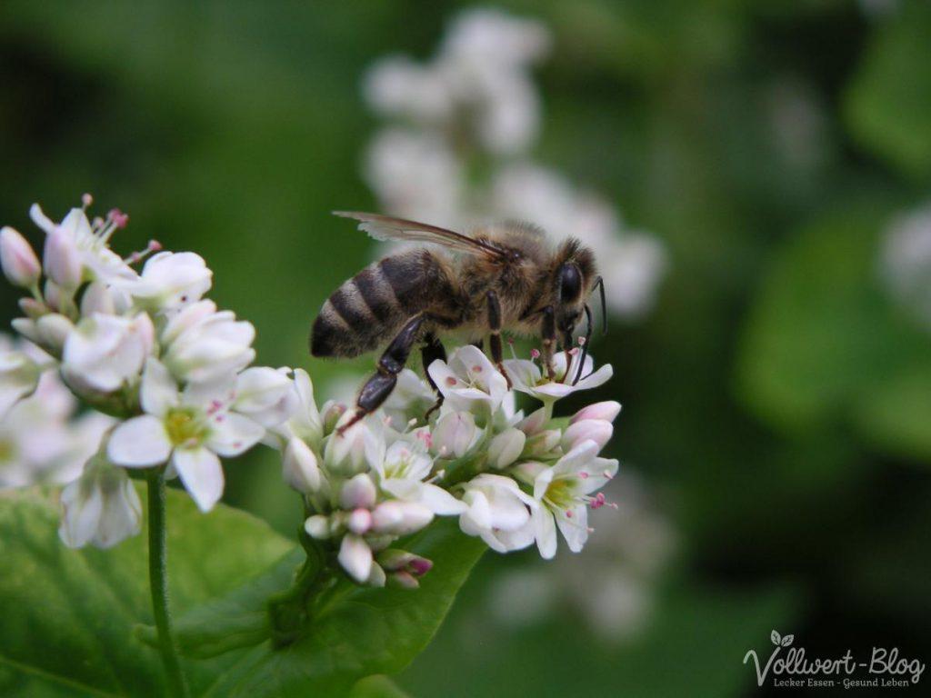 Eine Biene sammelt Nektar aus Buchweizenblüten