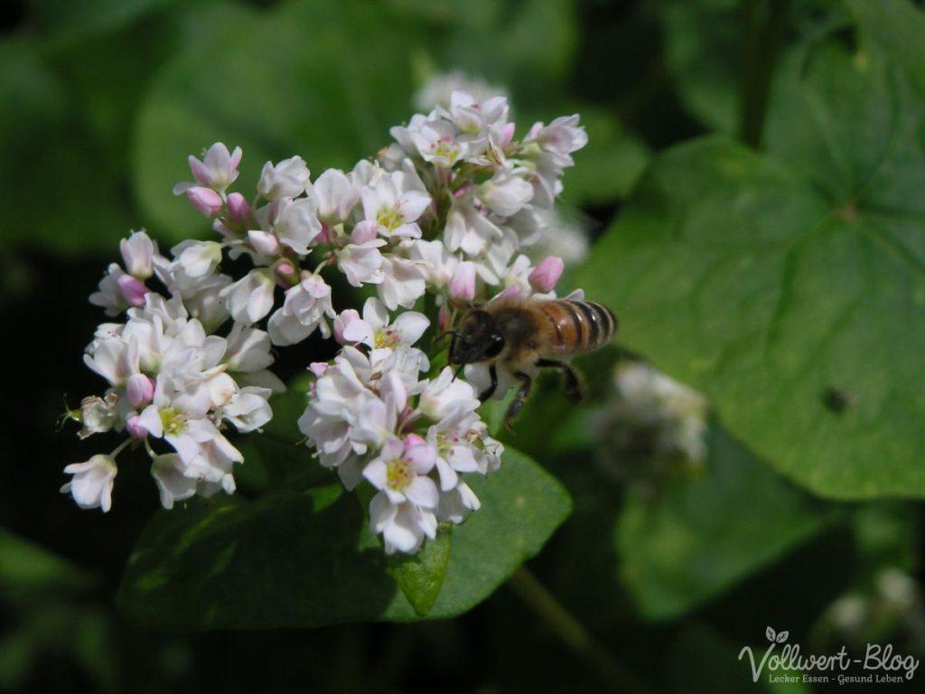 Biene beim Sammeln im Buchweizen