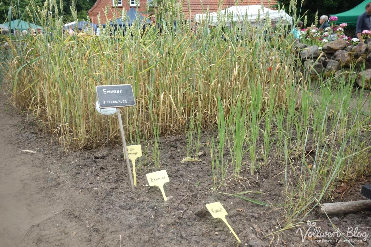 Emmer-, Kamut- und Weizenpflanzen