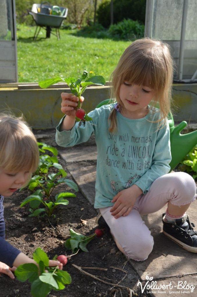 Radieschen-Ernte in unserem Garten